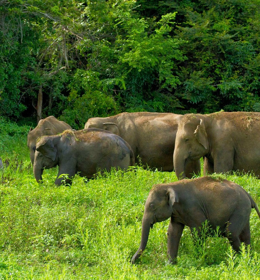 wild elephants in polonnaruwa